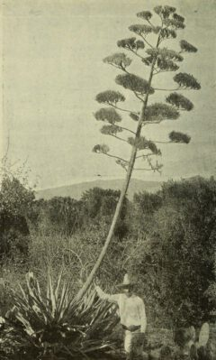 Agave tequilana.