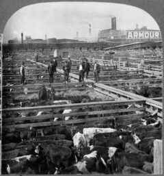 Cattle waiting to be slaughtered at the Union Stock Yards in 1909.