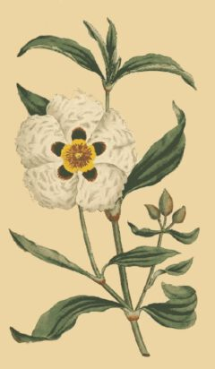 Cistus ladanifer (William Curtis, The Botanical Magazine, Vol. 4, London 1791).