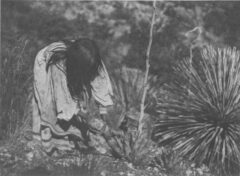 Cutting the agaves. Edward S. Curtis, The North American Indian, 1907.