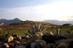 Agaves in Teotitlan.
