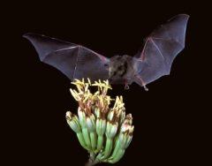 Mexican long-tongued bat (Choeronycteris mexicana).