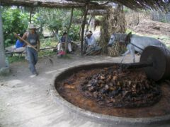 Further processing of baked agaves in the Tahona.