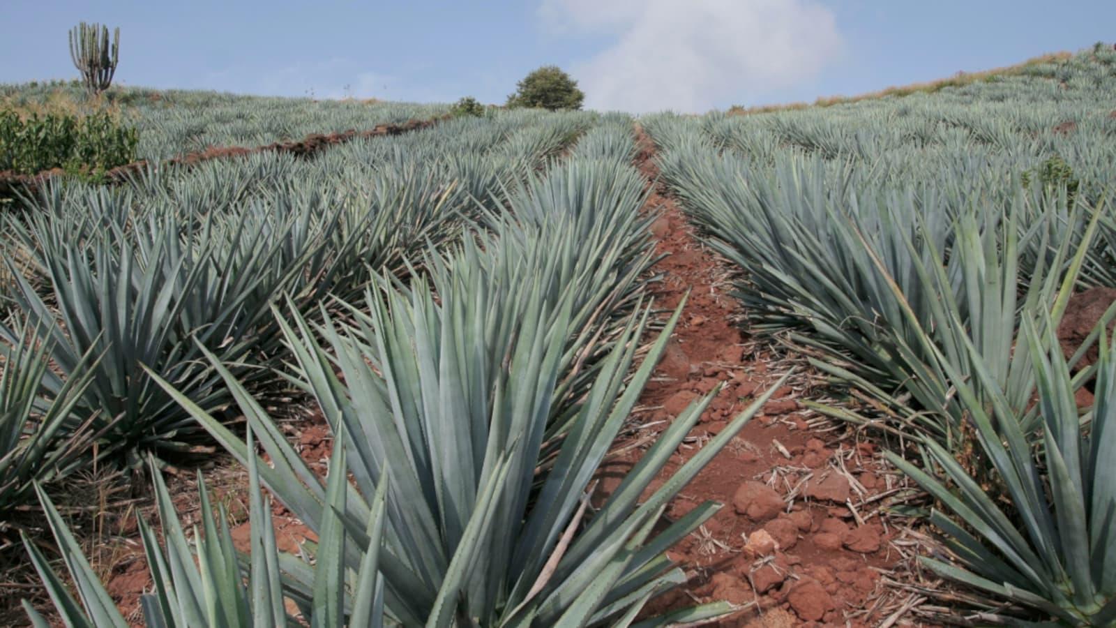 Mezcal Teil 10. Agave plantation in Jalisco.