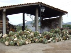Processing of the agaves.