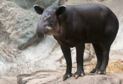 Central American tapir.
