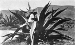Extraction of agave juice for pulp production, around 1904.